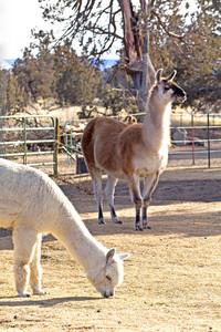 Alpaca And Llama Animal