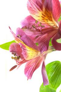 Alstroemeria Flowers Closeup