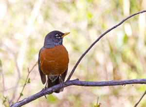 American Robin Bird 135