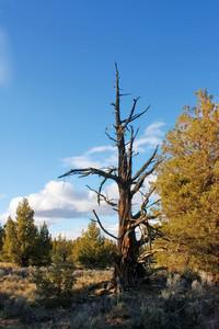 Ancient Juniper Tree