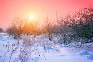 Apple orchard at winter sunrise
