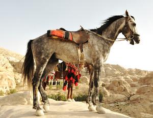Arabic horse