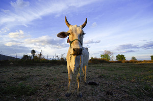 Asian bloodline cow in tropical field