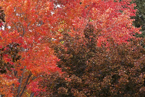 Autumn Background - Red Tree