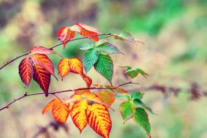 Autumn colorful bramble