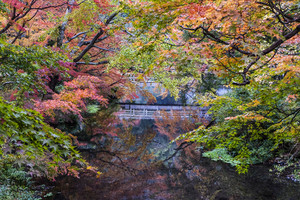 Autumn landscape japan maple tree