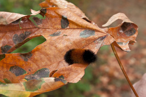 Autumn Leaf Caterpillar