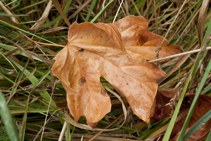 Autumn Leaf In Grass