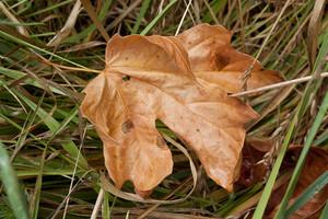 Autumn Leaf In Grass