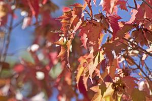 Autumn Leaves 137