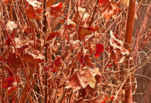 Autumn Leaves Branches