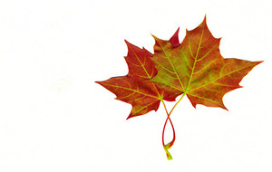 Autumn Maple Leaf Isolated On White Background With Clipping Path Included