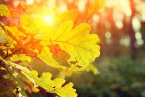 Autumn oak forest at sunset