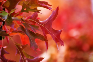 Autumn Red Background