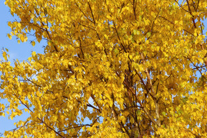 Autumn Yellow Tree Background