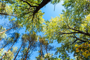 Autumnal forest from below. Trees and blue sky background
