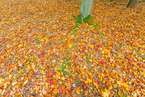 Autumnal forest ground with many fallen leaves with vibrant colors. Nature background