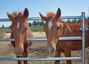 Baby Horses At Gate