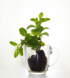 Baby Mint Plant