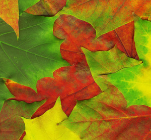 Background Made Of Red Maple Leaves