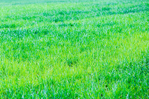 Background of lush green corn fields. Beautiful springtime cereal plants.