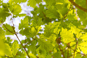 Background of young oak leaves on branches. Nature abstract background