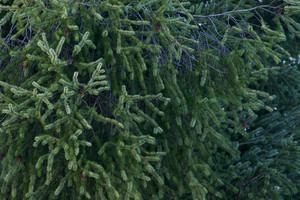 Backgrunds Christmas Evergreen Background