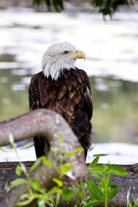 Bald Eagle 138