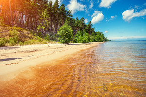 Baltic sea coast. Pine forest on the seashore