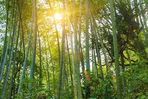 Bamboo forest in the sunlight