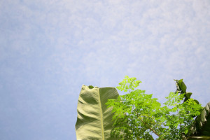 Banana_moringa_leaves