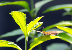 Banded Orange Heliconian Butterfly On Leaf