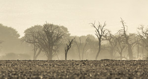 Bare, burned trees under a foggy sky