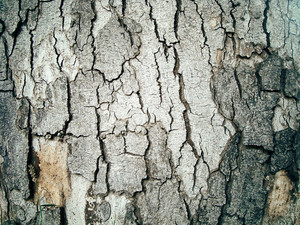 Bark_texture