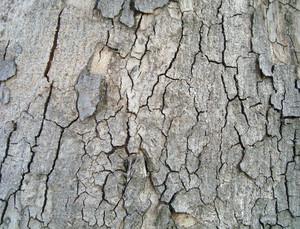 Bark_wooden_background