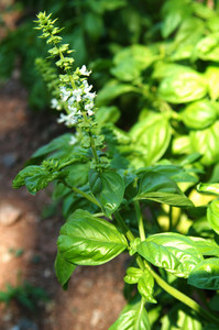 Basil Growing In Garden