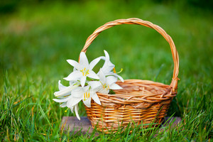Basket with lily flowers on the grass