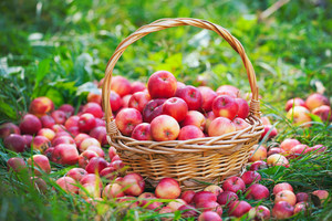 Basket with red apples on the grass in the garden
