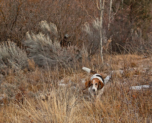 Basset Hound Dog In Field