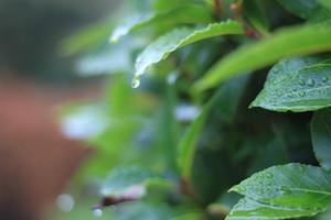 Bay Leaves Growing On Tree