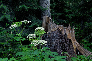 Bear Grass Stump