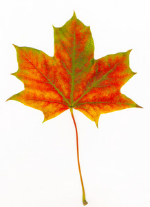 Beautiful Autumn Maple Leaf With A Clipping Path