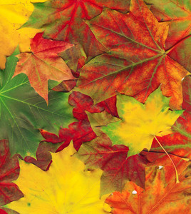 Beautiful Autumn Maple Leaves Background