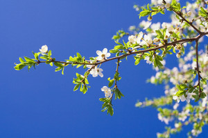 Beautiful blooming cherry branch in close up