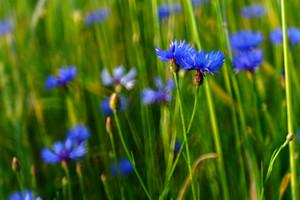 Beautiful blue cornflowers in sunset light growing on rye field