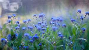 Beautiful blue forgetmentos flowers blooming in springtime