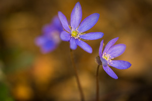Beautiful blue springtime liverworts (hepatica nobilis) photographed in spring polish forest