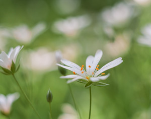 Beautiful close up of blooming chickweed flowers