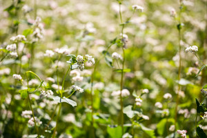 Beautiful close up of buckwheat flowers