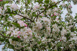 Beautiful close up of pear tree branch with flowers. Springtime white flowers background